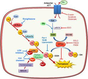 Molecular mechanisms of ferroptosis. Exacerbated esterification of arachidonic acid (AA) increases phosphatidylethanolamine-AA species which can be oxidized by lipoxygenase (LOX) leading to cell death by ferroptosis. ACSL4 and LPCAT3 favor ferroptosis since they mediate AA-PE species generation. In contrast, glutathione peroxidase 4 (GPX4) reduces lipid hydroperoxides (L-OOH) producing oxidized glutathione (GSSG) and negatively regulating ferroptosis. Inhibitors of the Xc antiporter, of glutathione synthesis and of GPX4 activity are inductor of ferroptosis since they reduce cellular anti-oxidative capacity. Ferroptosis can be prevented by scavengers of lipid peroxidation, inhibitors of phospholipid synthesis and LOXs, iron chelators and lipophilic antioxidants.