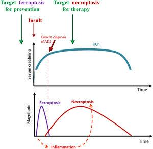 Interplay of different forms of regulated necrosis in the course of AKI and therapeutic implications. Ferroptosis is an early event that triggers an inflammatory response and, dependent of inflammation, a secondary wave of necroptotic cell death that amplifies and maintains kidney dysfunction. Ferroptosis occurs before current diagnosis of AKI and its targeting could be useful for prevention, while, necroptosis is sensitive to therapeutic intervention since is initiated after AKI has been triggered.
