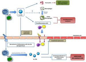 Effects of IL-17A production by lymphocytes (Th17 and γδT) on immune cells and on the tissue inflammatory response.