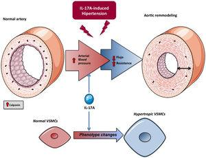 Potential explanation of the effect of IL-17A on the regulation of blood pressure. Effect on resistance mesenteric arteries.