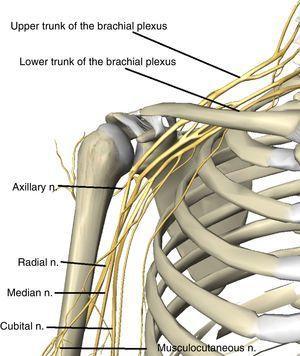 Anatomical representations of upper limb nerves.