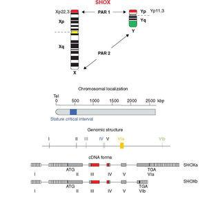 Chromosomal localization, genomic structure and cDNA forms (adapted from Marchini et al.19 and Blaschke and Rappold48). SHOX: short stature homeobox.