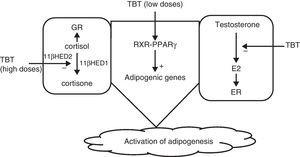 Mechanism of action of organotin compounds. E2: estradiol; GR: glucocorticoid receptor; TBT: tributyltin; 11βHED: 11β-hydroxysteroid dehydrogenase; (+) activation; (−) inhibition.