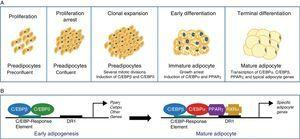 Differentiation of preadipocytes into adipocytes. (A) Scheme of the transition process from preadipocyte to mature adipocyte including the different stages. (B) Sequential model of transcriptional control during adipogenesis.