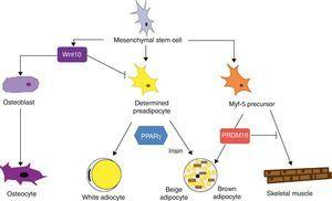"Differentiation of mesenchymal stem cell into different cell types. Recent studies support the theory that there is no common precursor for white and brown preadipocytes. Brown preadipocytes have a ""myogenic signature"". However, brown adipocytes immersed in WAT masses appear to come from a different precursor than those located in BAT masses. These adipocytes immersed in WAT with UCP-1 expression have been called ""beige adiocytes"" and are especially sensitive to the hormone irisin."