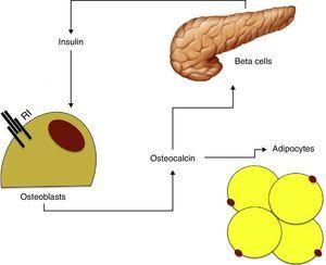 Relationship between insulin secretion, bone metabolism, and adipose tissue. IR: insulin receptor.