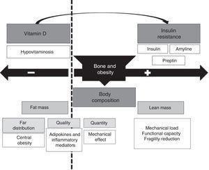 Bidirectional effect of obesity on bone metabolism.