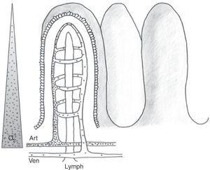 Intestinal microvascularization (ii). Schematic representation of the anatomical distribution of the intestinal microvascularization (artery, vein and lymphatic vessel) at villus level. The passage of low-molecular weight molecules (dots) and the countercurrent mechanism are shown. The triangle at left represents the oxygen concentration gradient from villus base to tip.