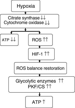 Proposed effect of hypoxia upon energy metabolism. Source: adapted from Raguso et al.7,42 ATP: adenosine triphosphate&#59; HIF-1: hypoxia inducible factor-1&#59; PKF/CS: phosphofructokinase/citrate synthase ratio&#59; ROS: reactive oxygen species.