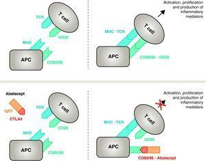 Mechanism of action of abatacept. The abatacept fragment comprising the extracellular domain of CTLA4 binds to CD80/CD86 receptors, preventing or displacing its interaction with the CD28 receptor. In this way, it selectively blocks the specific binding of CD80/CD86 to CD28 receptor, which is, pathophysiologically, a block of the second signal for immune activation and, therefore, activation of T cells CPA, antigen-presenting cell; MHC, major histocompatibility complex; TCR, T cell receptor.