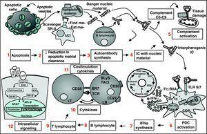 Panoramic vision of pathogenesis of Systemic Lupus Erythematosus. The apoptotic cell exposes on its surface apoptotic vesicles with nuclear antigens (1); due to a deficient clearance mechanism by the macrophage system, they accumulate (2) and gain access to autoreactive B lymphocytes, which synthesize autoantibodies (3); the IC formed (4) have the capacity to activate complement and damage tissue (5) and activate PDC (6); these respond by producing IFN-( by TLR7 and TLR9 dependent pathways (7); IFN-α has multiple effects on the immune system that favors autoimmunity, such as the differentiation of B cells to antibody producing plasma cells, T cell activation and dendritic cell maturation. All of these lead to a vicious circle that intensifies and perpetuates the autoimmune process. Other therapeutic targets are BL (8) TL (9), cytokines (10), costimulation molecules (11) and intracellular signaling pathways (12). PDC, plasmocytoid dendritic cells; IC, immune complexes; IFN, interferon; BL, B lymphocyte; MØ, macrophage; TCR, T cell receptor; TLR, toll-like receptor.