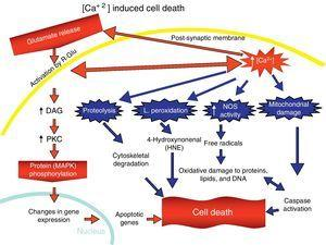 Excitotoxic cell death.