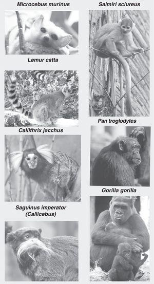 Images of non-human primates: Microcebus murinus (mouse lemur), Lemur catta (ring-tailed lemur), Callithrix jacchus (common marmoset), Saguinus imperator (tamarin), Saimiri sciureus (squirrel monkey), Pan troglodytes (chimpanzee) and Gorila gorila (gorilla). Photographs provided by Faunia-Madrid (Lemuriforms and Platyrrhines) and Zoo-Aquarium-Madrid (chimpanzee and gorilla).