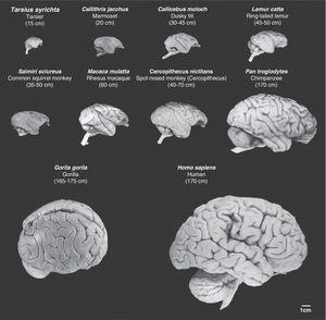 Images of non-human primate brains compared to human brains. Images are shown to the same scale. We can see that as cerebral mass increases, so do the number of cerebral folds and the volume of the prefrontal and frontal cortex. Mean body length (excluding the tail for species with tails) of the adult primate is shown in brackets. Images were taken from the University of Wisconsin and Michigan State Comparative Mammalian Brain Collections [consulted 26 April 2011]. Available at: http://brainmuseum.org/index.html.