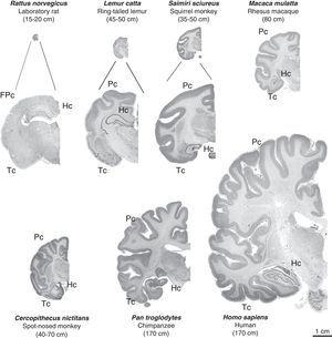 Images of coronal brain sections from non-human primates compared with rat and human brains. Images are shown to the same scale (close-ups of the first 3 are provided for better viewing). We can see that in addition to the increase in brain mass, the number of brain folds also increases progressively; brain folds are a characteristic of non-human primates, while lissencephaly is typical of rodents (FPc=frontoparietal cortex). We also see increases in parietal (Pc) and temporal (Tc) cortex volumes. The hippocampus (Hc) is located in a dorsal position in prosimians (Lemur catta), which is similar to its location in rodents (rat), while it is ventral in simians including humans. Mean body length (excluding the tail for species with tails) of the adult primate is shown in brackets. Images of non-human primates were taken from the University of Wisconsin and Michigan State Comparative Mammalian Brain Collections [consulted 26 April 2011]. Available at: http://brainmuseum.org/index.html.