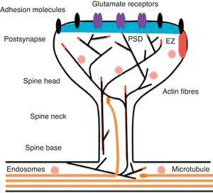 Diagram of a mushroom spine showing the postsynaptic structures necessary for the transmission of the nervous impulse.