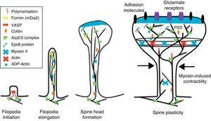 Actin regulatory mechanisms during dendritic spine development.