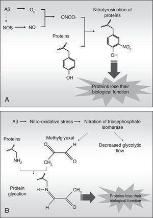Diagram of protein nitrotyrosination (A) and glycation (B) induced by Aβ fibril aggregates.