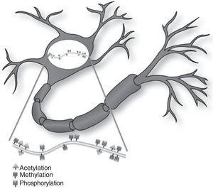 Epigenetic effects on the adult nervous system. Epigenetic regulation of neurons in the adult brain occurs in response to synaptic signals and/or environmental stimuli. These external stimuli change the transcriptional profile, and therefore neuron function as well.