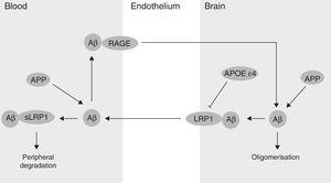 Regulatory mechanisms of Aβ levels in the brain parenchyma. APOE ??4: apolipoprotein ??4; LRP1: low-density lipoprotein 1 receptor; RAGE: receptor for advanced glycation end-products.