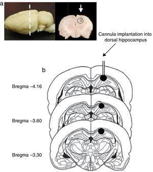 (a) Image of the rat brain showing the site of cannula implantation at the anteroposterior level (dashed line) and a coronal section of the brain showing the site of cannula injection (white arrow). (b) Diagram of brain coronal sections, displaying the site of cannula implantation into hippocampal CA1 (black circles). Based on Paxinos and Watson's rat brain atlas (1998 edition).