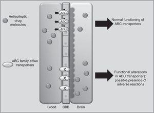 Participation of the ABCB1 and ABCC2 transporters at the blood-brain barrier (BBB) in the development of adverse reactions to antiepileptic drugs.