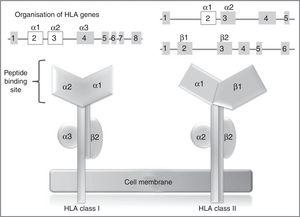 HLA class I and II genes and alleles: organisation of HLA system genes; (above) exons are shown as squares and introns as lines; above the squares are labels indicating the HLA molecule domains (depicted below) coded for by each exon; exons shown in white are those that contain the majority of the polymorphisms included in these genes.