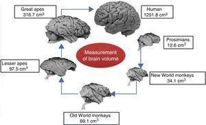 Comparison of the brains of humans, prosimians, and Old and New World monkeys.