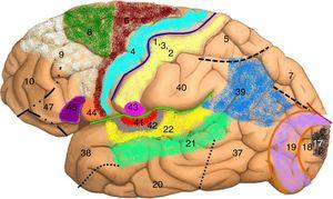 Map of Brodmann areas in the Homo sapiens brain. In 1909, Korbinian Brodmann used Nissl staining to divide the cerebral cortex into 52 areas (Brodmann areas 1-52). A Brodmann area is a region of the cerebral cortex with a distinct cytoarchitecture. Brodmann area 4: primary motor cortex; Brodmann area 17: primary visual cortex; Brodmann area 22: Wernicke area; Brodmann area 41: primary auditory cortex; Brodmann areas 44 and 45: Broca area.