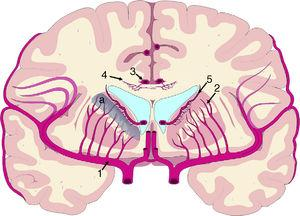 Vascularisation of periventricular structures. The basal ganglia and internal capsule are located in a last meadow area (a) between the territory of the perforating branches (2) of the middle cerebral artery (1) and the branches of the subependymal arteries (5). The corpus callosum is irrigated mainly by the short callosal arteries (4) from the pericallosal artery (3), which belong to the terminal circulation.