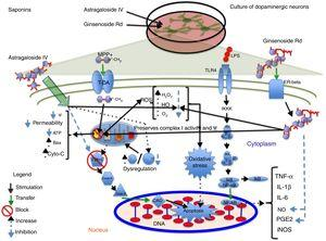Neuroprotection of saponins in models of MPP+- and lipopolysaccharide-induced neuronal damage. Astragaloside IV reduces ROS levels and prevents oxidative stress, increasing Bcl-2 levels and inhibiting cytochrome C release into the cytosol, thereby preventing cell death. Ginsenoside Rd preserves the mitochondrial membrane potential (Ψ) and complex I activity and reduces ROS levels, preventing oxidative stress and decreasing NO and PGE2 levels, which increases cell viability.