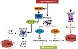 The main mechanisms of damage and neuroprotection associated with neurinflammation.Neuroinflammation is not a neurotoxic stimulus in itself; immune response mainly activates the cells of the innate immune system, such as neutrophils, microglia, and astrocytes. Neutrophils are predominantly neurotoxic, whereas microglia and astroglia can express neuroprotective phenotypes. Depending on the type and intensity of the stimulus, microglia may polarise to the M1 phenotype, which releases IFN-γ, leading to greater damage and inhibition of neurogenesis, or to the M2 phenotype, which secretes IL-4 and has anti-inflammatory properties, promoting neurogenesis and neuroprotection. When activated by damage molecules, and depending on which TLR receptor is activated, astroglia may secrete TNF and IL-6, promoting neuronal damage, or such neuroprotective factors as antioxidant GSH, the GDNF growth factor, and the GLT1 transporter.
