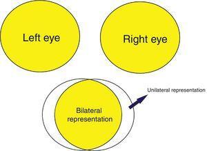 Schematic representation of the visual field in the visual cortex.