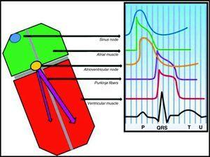 The fast response cardiac action potential is responsible for atrial (green), Purkinje (purple) and ventricular (red) depolarization and conduction.