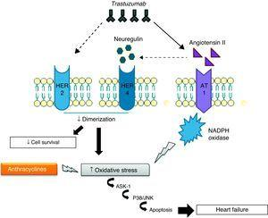 Interaction of the cardiotoxic mechanisms of anthracyclines with those of trastuzumab.