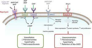 Mechanisms of action of neprilysin and natriuretic peptides, in parallel with the renin-angiotensin-aldosterone system (adapted from Bayés-Genís et al.13).