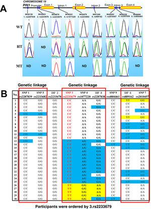 (A) Genotyping examples of PIN1 single nucleotide polymorphisms (SNPs). WT: wild type; HT: heterozygous type; MT: mutant type; ND: not detected; (B) gene sequencing results and linkage patterns of PIN1 SNPs. White: wild type; blue: heterozygous type; yellow: mutant type.