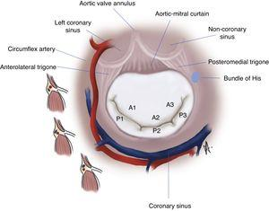 Anatomical relationships and segmentation of the mitral valve.