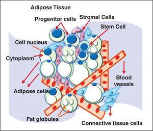– Figure illustrating adipose tissue-derived adult stem cell niche