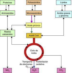 Obtención de acetil CoA.