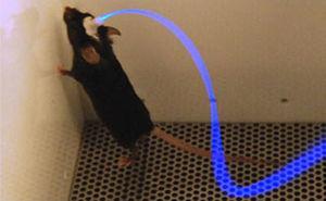 Ratón de experimentación con la interfaz optogenética de onda espectral azul (270mm, ChR) colocada. Fuente: Deisseroth20.
