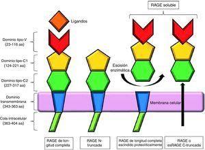 Representación esquemática de los receptores de los productos finales de glicación avanzada y sus isoformas. Modificada de Chuah et al.7.
