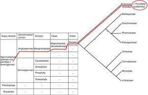 Esquema de encuadre taxonómico del género Crataegus spp. Elaboración propia.