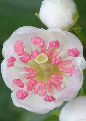 Flor de Crataegus monogyna. En general en el género, flores blancas y con fuerte olor. Extraído de: https://www.flickr.com/photos/xema-romero/3735383266/?&cuid=65ed78e100ed03427cccbebc9f8087a6.