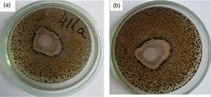 Photographic images of the inhibition zone occurring in the presence of (A) suspension containing Ag-TiO2 composite against the tested fungi mix (see Section 2.5.1) after: (a) 7 days and (b) 14 days of exposure.