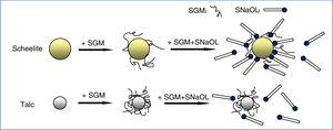 The suggested adsorption model of SGM and SNaOL on the surfaces of scheelite and talc.