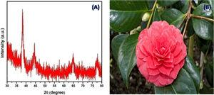 (A) XRD pattern of the AuNPs and (B) Camellia japonica plant.