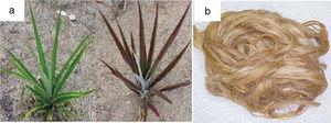 (a) Curaua plant and (b) curaua fiber processed and ready for use.