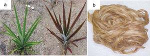 (a) Curaua plant and (b) curaua fiber processed and ready for use.