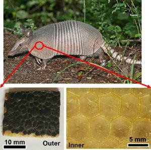 Armadillo carapace composed of (bottom right) hexagonal bony segments with approximately 5mm diameter connected by collagen known as Sharpey's fibres. The surface of the carapace (bottom left) consists of a keratinous layer that ensures impermeability. The keratin layer is also segmented. This configuration provides a balance of flexibility and stiffness required for protection against predators.